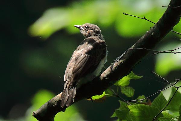 野鳥-x3
