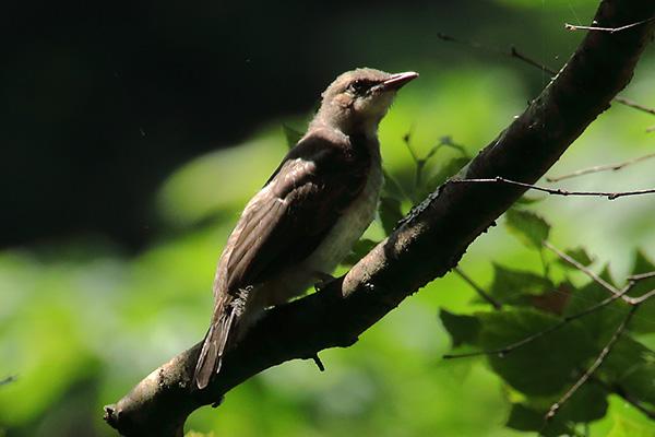 野鳥-x4