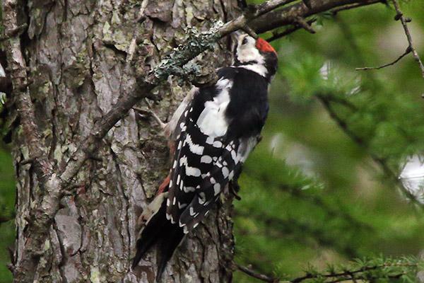 アカゲラの幼鳥-212