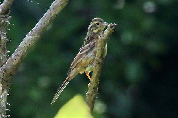 ホオジロの幼鳥-154