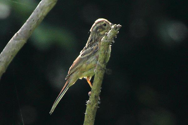 ホオジロの幼鳥-155