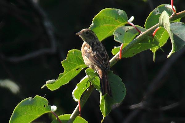 ホオジロの幼鳥-156