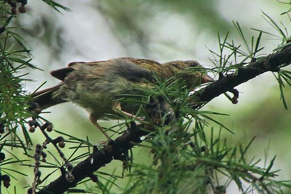 キビタキorノビタキの幼鳥?
