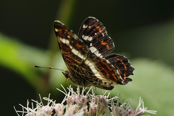 サカハチチョウ-10