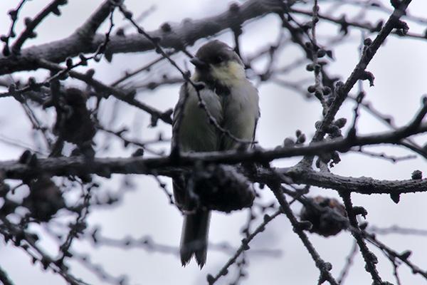 シジュウカラの幼鳥-41