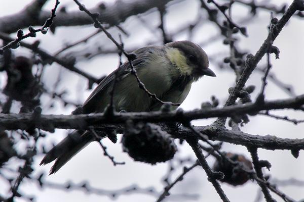 シジュウカラの幼鳥-42