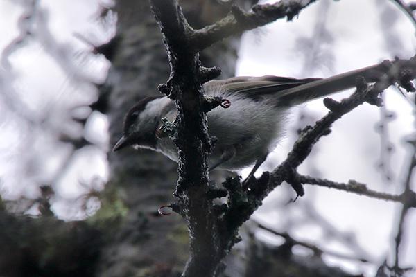 シジュウカラの幼鳥-43