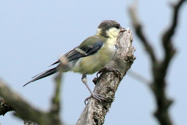 シジュウカラの幼鳥-44