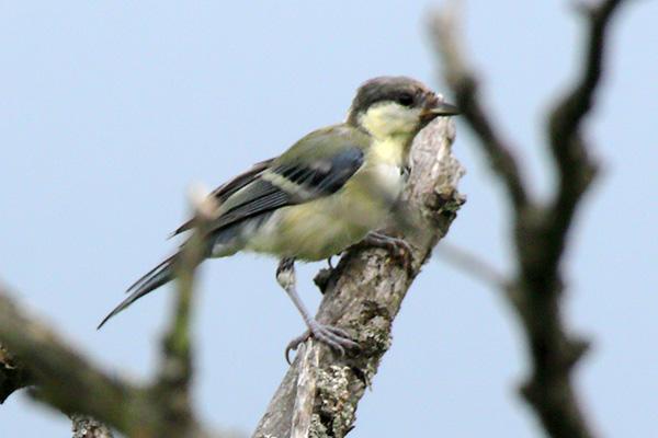 シジュウカラの幼鳥-45