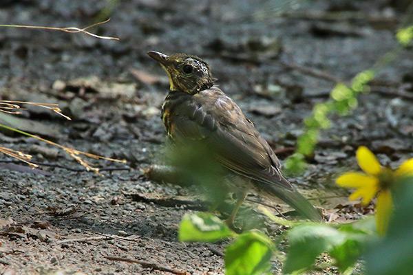 アカハラ幼鳥-1
