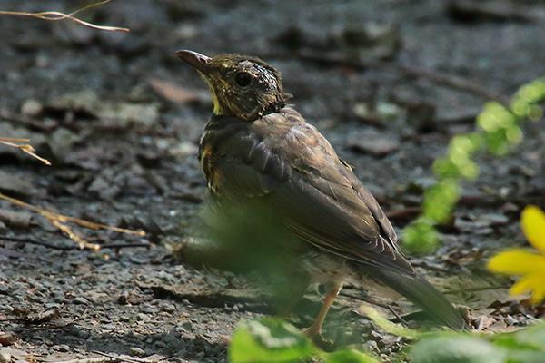 アカハラ幼鳥-2