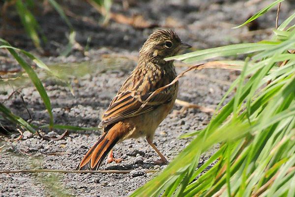 ホオジロの幼鳥-164