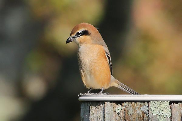 モズの幼鳥-125