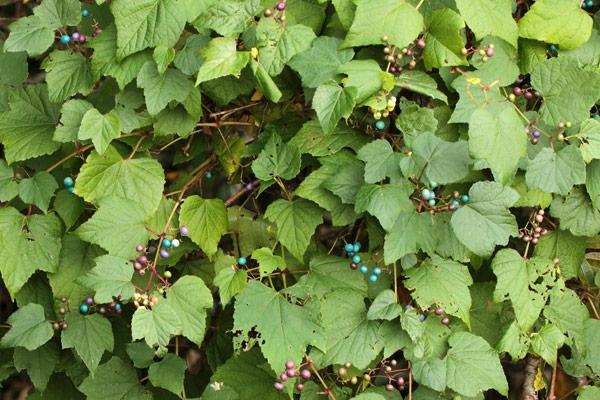 ノブドウの果実-1
