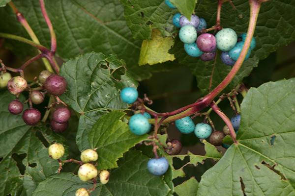 ノブドウの果実-3
