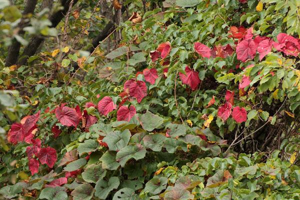 ヤマブドウの葉-1