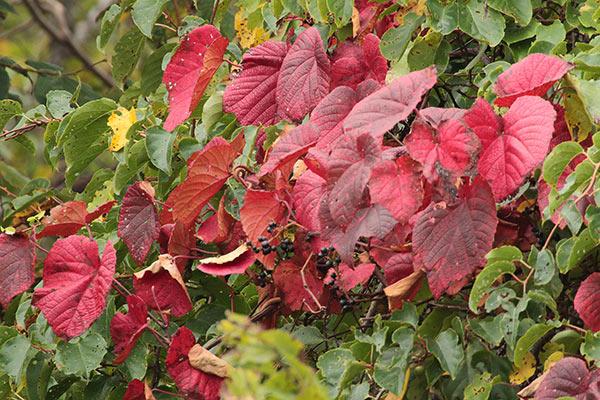 ヤマブドウの葉-2