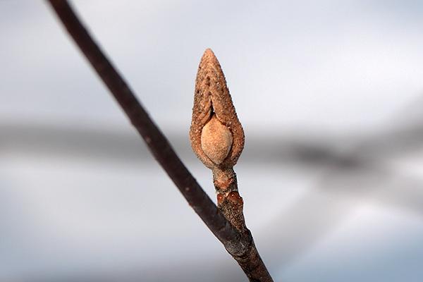 オオカメノキ冬芽-1