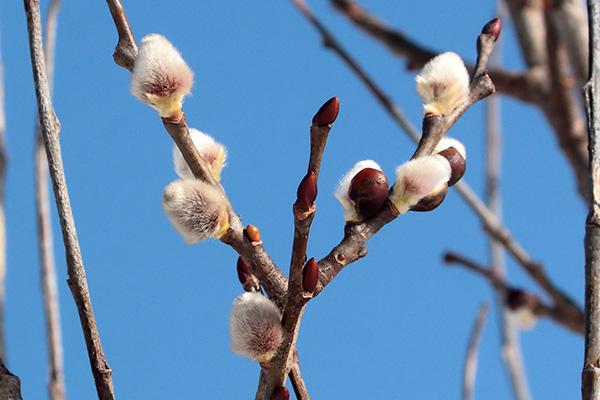 バッコヤナギ花芽-2