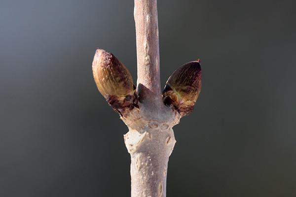 エゾニワトコ冬芽-1