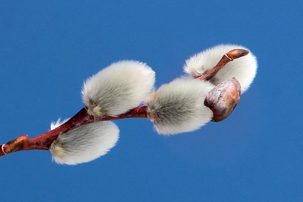 エゾノバッコヤナギ花芽-3