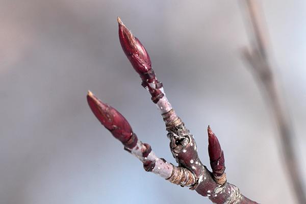 ナナカマド冬芽-1