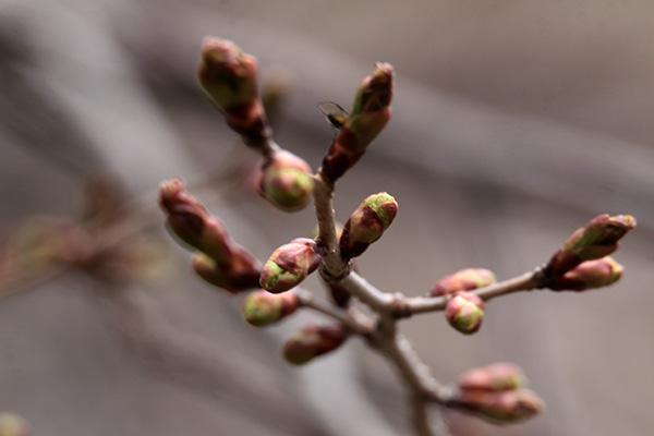 エゾヤマザクラ花芽-1