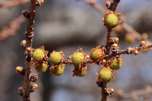 カラマツ冬芽-1