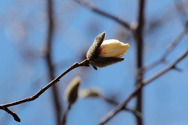 キタコブシ花芽開-1