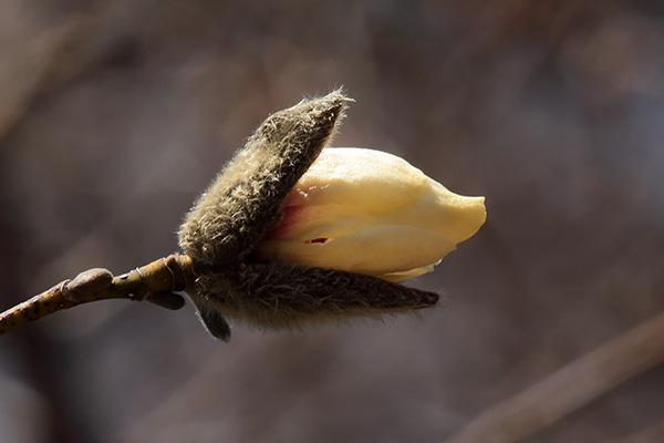 キタコブシ花芽開-2
