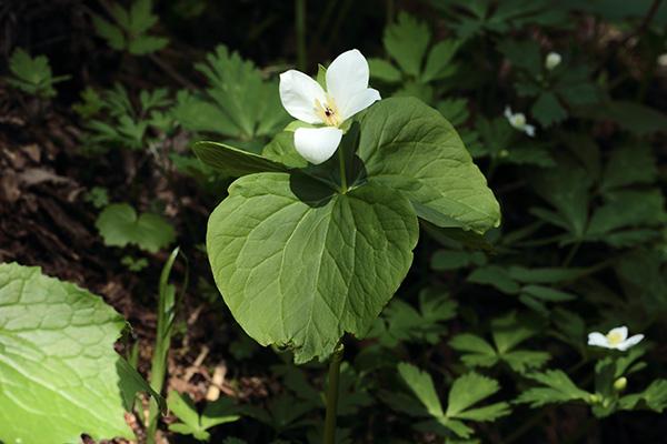 4花弁オオバナノエンレイソウ-1