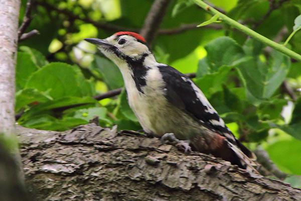 アカゲラ幼鳥-249
