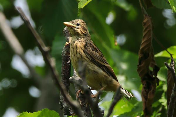 ホオジロ幼鳥-121