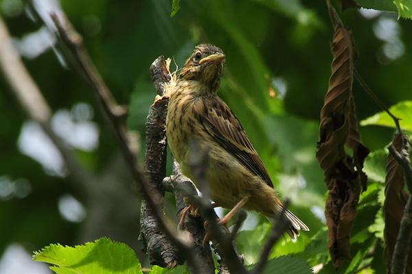 ホオジロ幼鳥-122