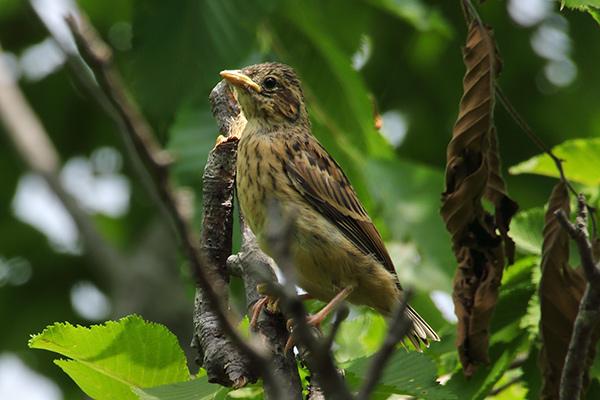 ホオジロ幼鳥-123