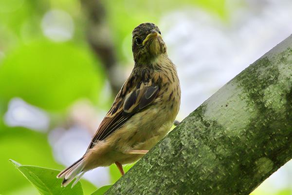ホオジロ幼鳥-125