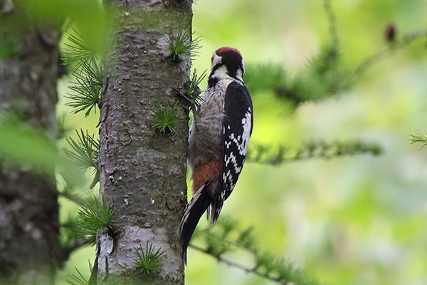 アカゲラ幼鳥-258