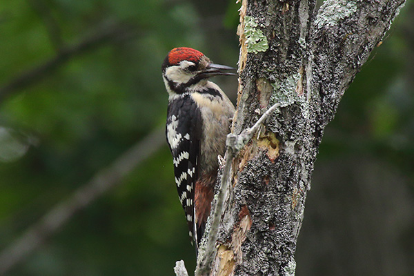 アカゲラ幼鳥-277
