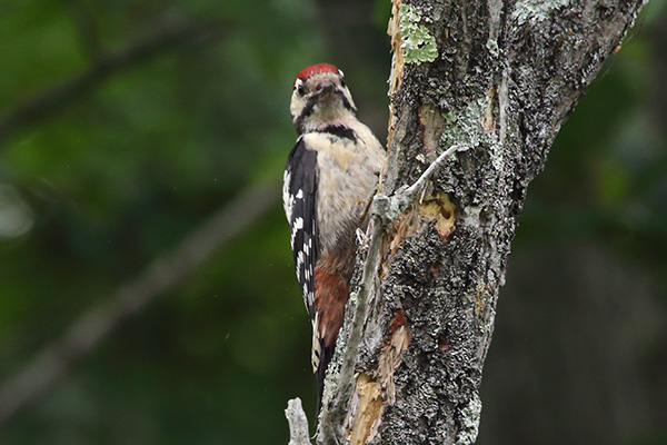 アカゲラ幼鳥-278