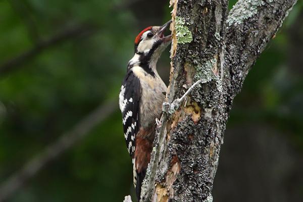 アカゲラ幼鳥-279