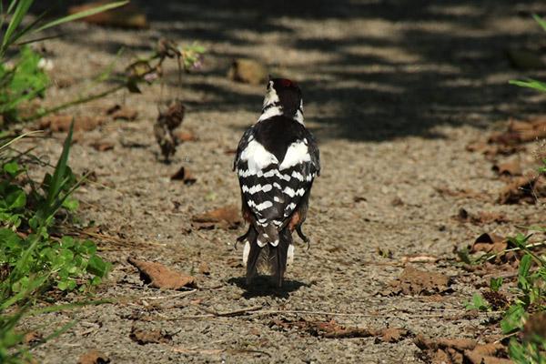 アカゲラ雄の幼鳥-281