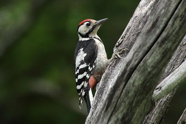アカゲラ幼鳥-285