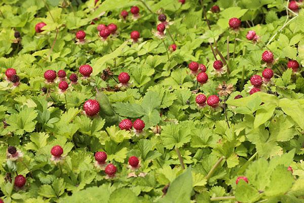 ヘビイチゴ果実-1