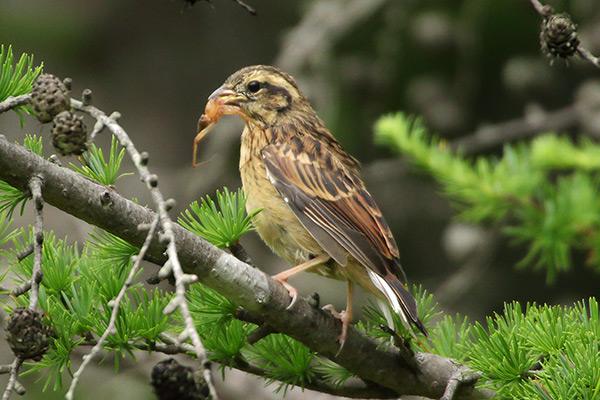 ホオジロ幼鳥-131