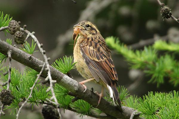 ホオジロ幼鳥-132