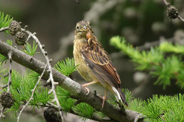 ホオジロ幼鳥-133