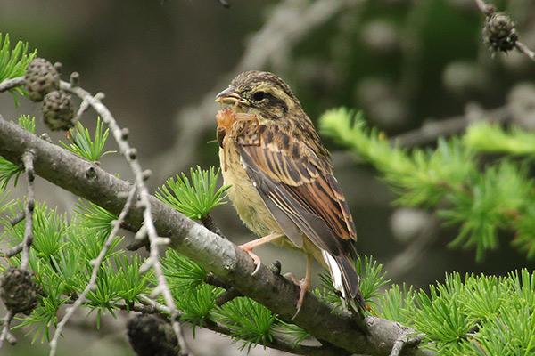 ホオジロ幼鳥-134