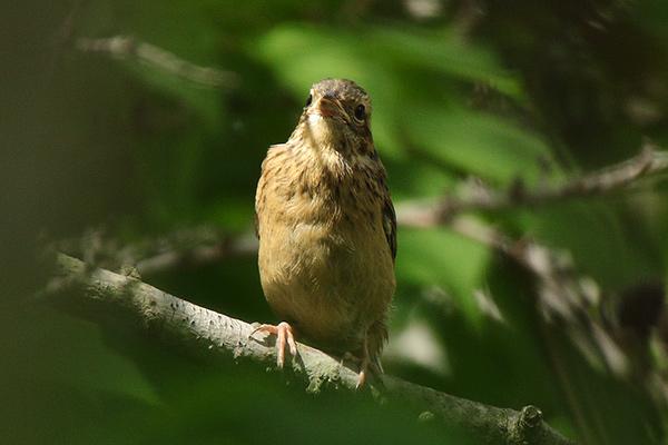 ホオジロ幼鳥-138