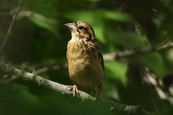 ホオジロ幼鳥-139