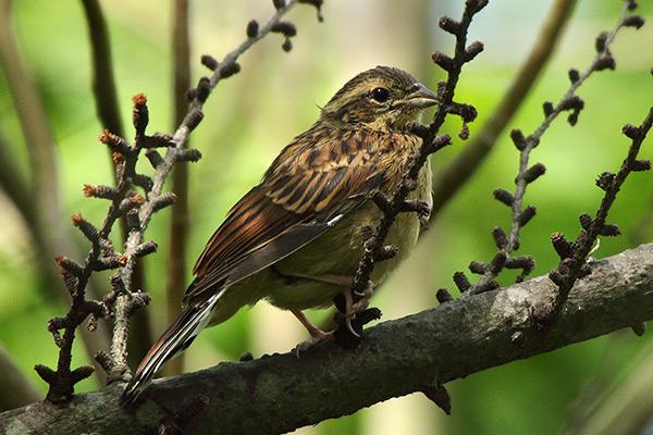 ホオジロ幼鳥-140